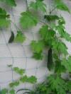 ゴーヤ収穫 003